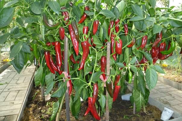 Плоды перца Какаду имеют удлиненно-призмовидную форму и выгодно отличаются крупными размерами
