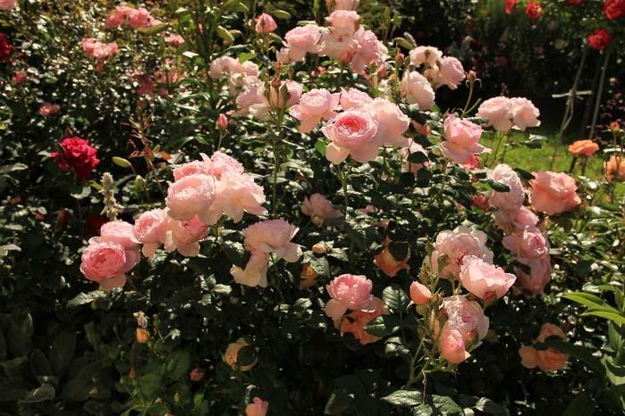Английские миниатюрные розы кустарникового типа часто являются прекрасным дополнением цветников и клумб