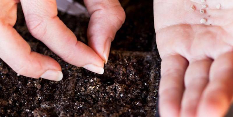 Посев нужно проводить слегка подсушенными до состояния сыпучести семенами