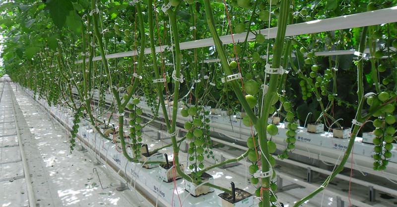 Особенно важно проводить интенсивные подкормки и поливы на стадии завязывания плодов и вызревания урожая