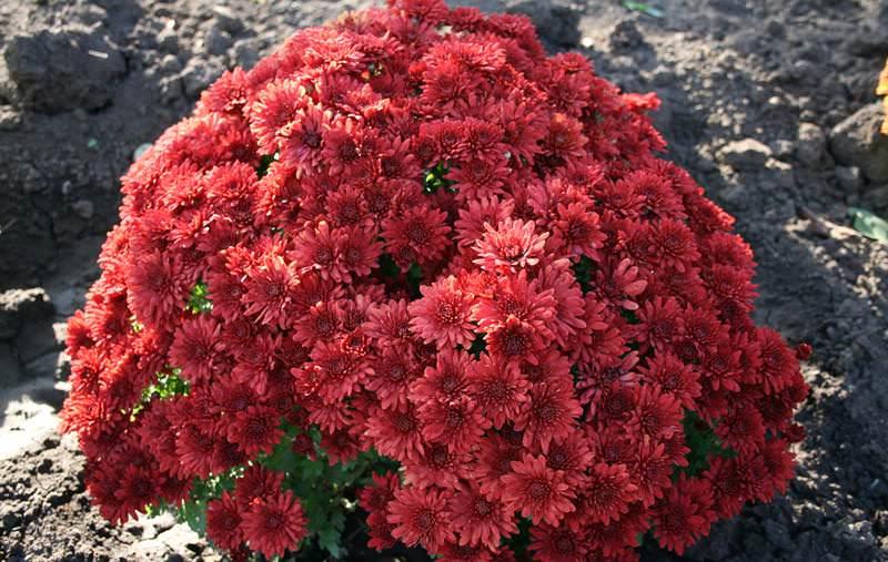 Уход за садовой хризантемой существенно не отличается от ухода за другими цветочными растениями, выращиваемыми в открытом грунте