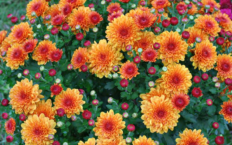 Хризантема характеризуется длительным, обильным и очень красивым цветением