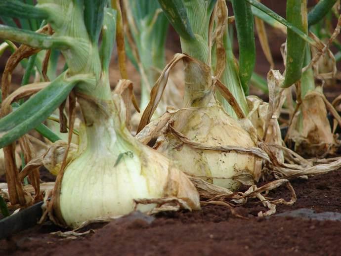 Основным достоинством лука семейного является способность формировать товарного вида луковицы в засушливый период