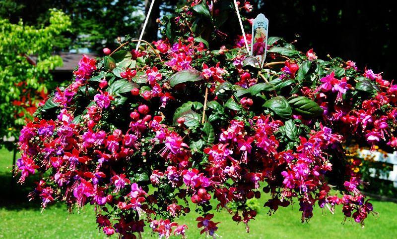 Фуксия - это такое растение, которое не спутаешь ни с каким другим