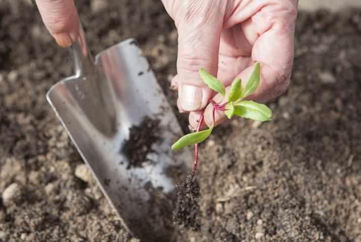 Прореживание свеклы необходимо для получения более качественных, товарного вида, крупных корнеплодов