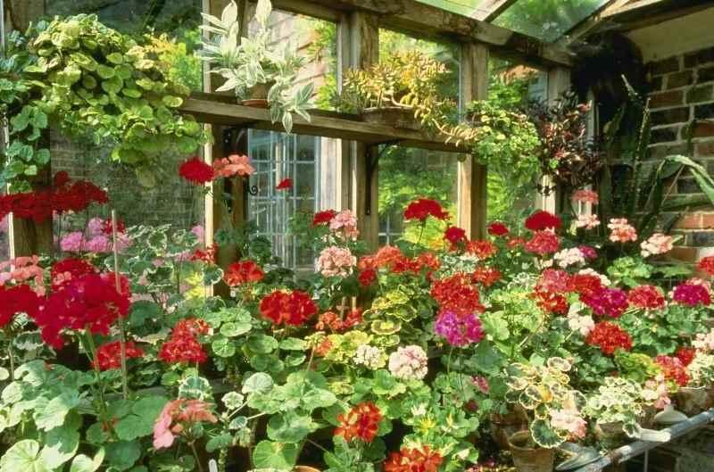 Полезно высаживать садовые сорта пеларгонии на садовом участке