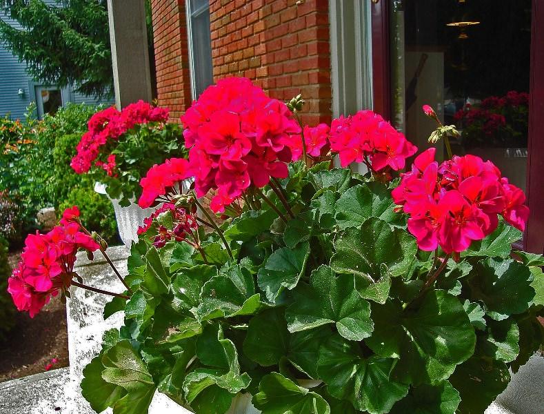 Герань имеет много полезных свойств, однако есть у этого цветущего растения и противопоказания