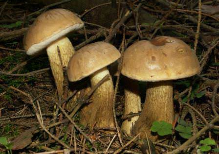 Горчак – несъедобный вид гриба
