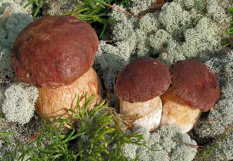 Белый гриб редко попадает в корзину грибника в июне