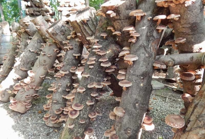 Чтобы выращивать лесные грибы на приусадебном участке, нужно грибным раствором залить необходимые места