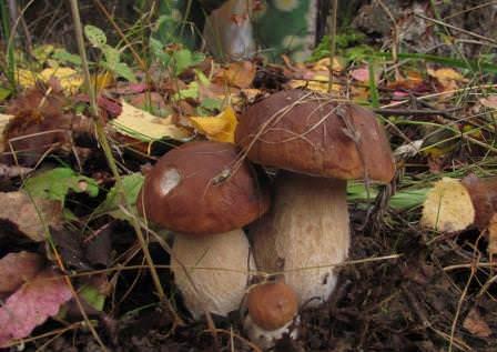 Посадка грибов на своем участке – дело не слишком трудное