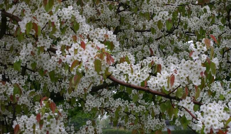 Цветки груш сорта Бергамот нуждаются в дополнительном опылении