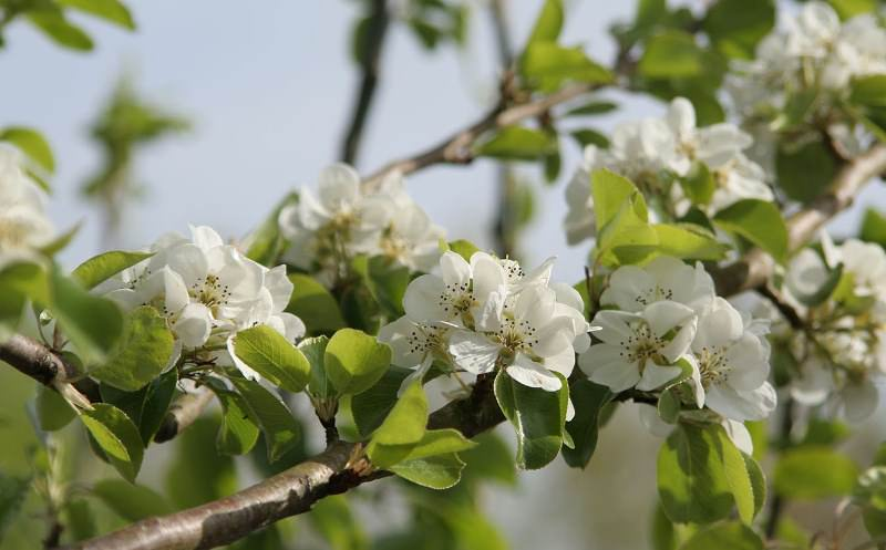 Цветы груши Вильямс не реагируют на сложные погодные условия