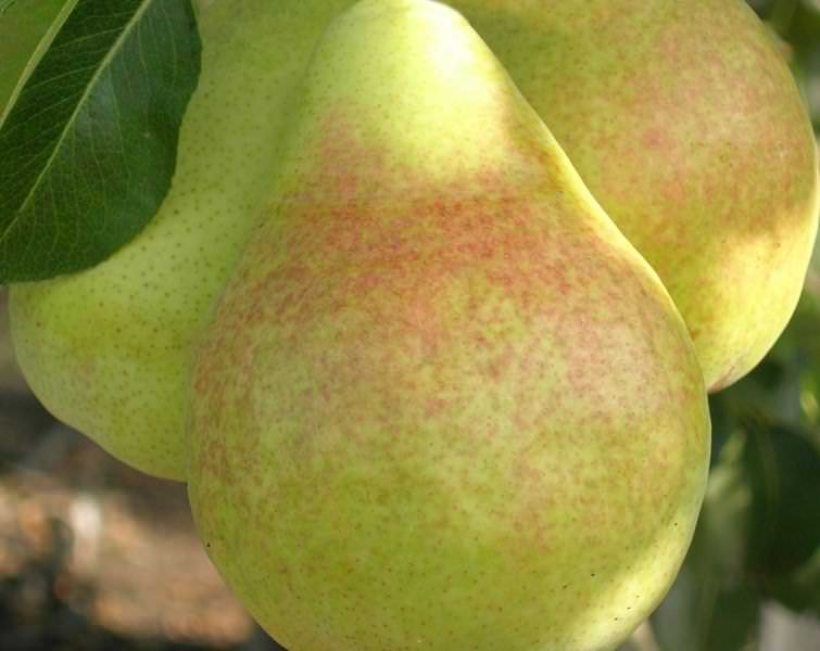Быстрое созревание, богатый урожай и большие плоды с нежным вкусом – основные плюсы сорта Вильямс летний