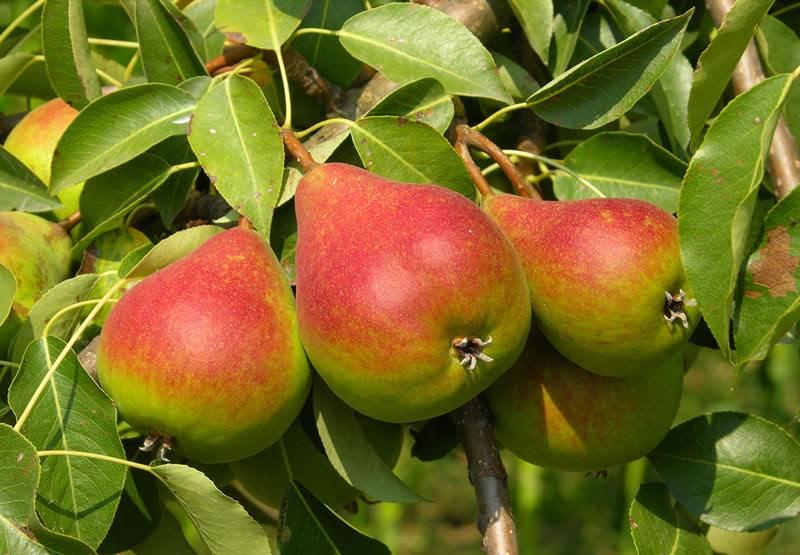 На некоторых плодах сорта Вильямс зимний присутствует характерная особенность сорта: от чашечки до плодоножки тянется коричневая полоса