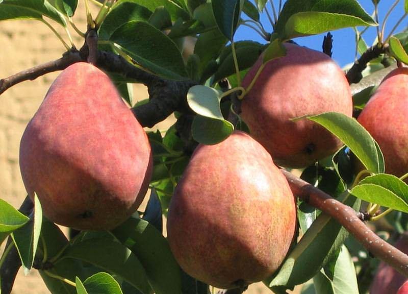 Сорт Вильямс Руж Дельбара начинает приносить плоды на пятый год после посадки в саду