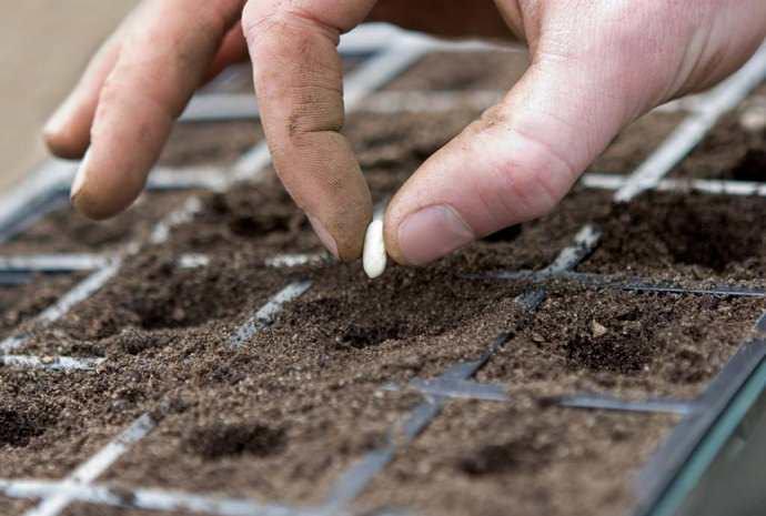 Сеять семена лучше всего негусто, иначе всходы будут вытягиваться