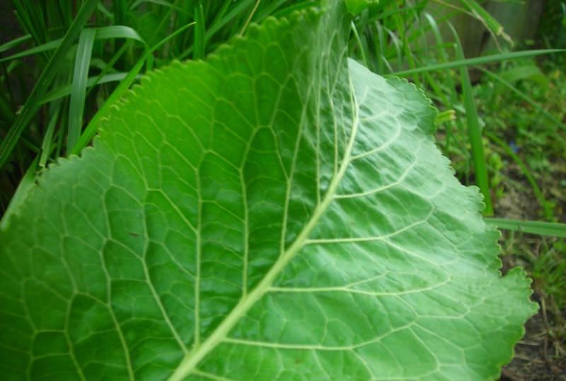 Листья хрена можно сберечь, добавляя их как приправу в пищу