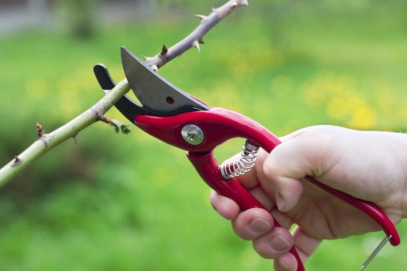 Лучше всего выполнять окулировку весной, когда растения обзаводятся молодыми листочками