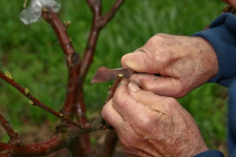 Окулировка с древесиной под силу каждому садоводу