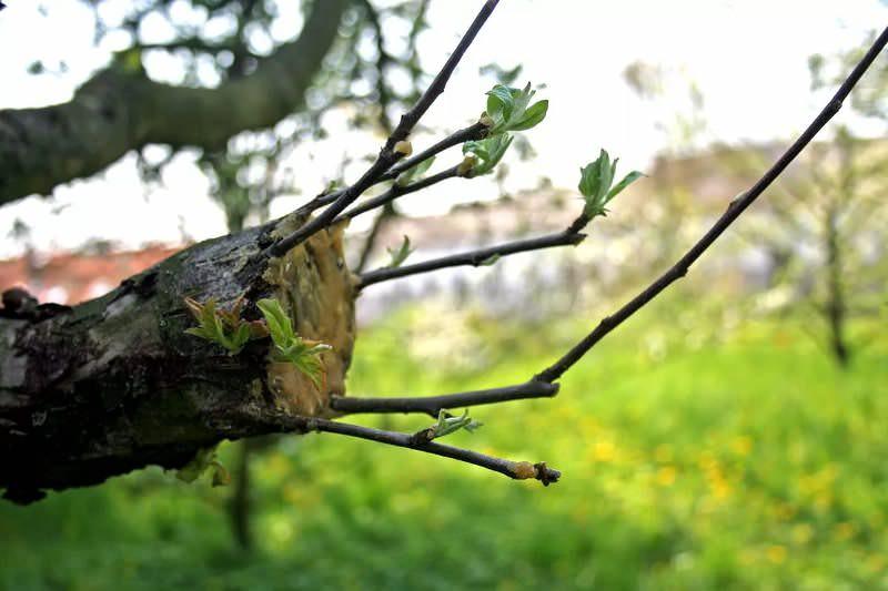Яблоневый подвой хорошо срастается с черенком груши Кафедральная