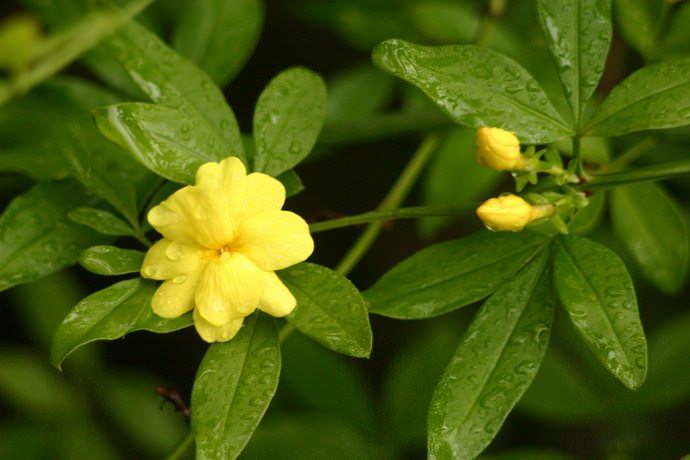 В домашних условиях чаще всего выращивают жасмин первоцветный