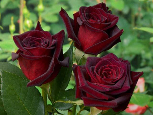 Красота лепестков розы Блэк Мэджик поражает воображение