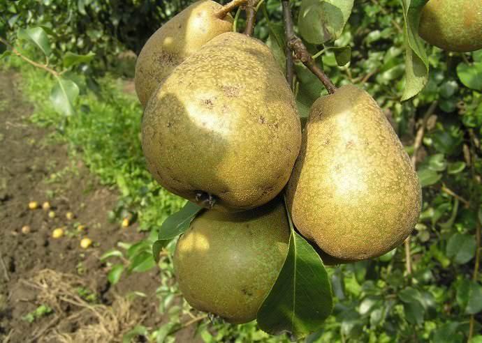 Плоды сорта груши Белорусская поздняя поспевают в сентябре