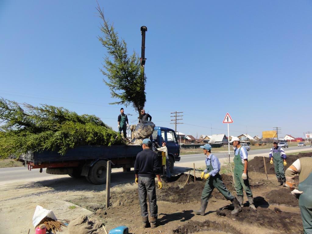 При пересадке крупномеров нужны специальные материалы, в которые будут упакованы комы земли с корнями