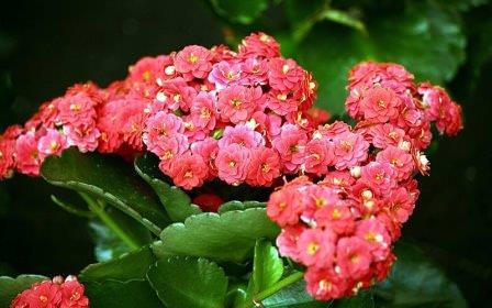Такое растение, как каланхоэ, широко известно среди цветоводов и не только