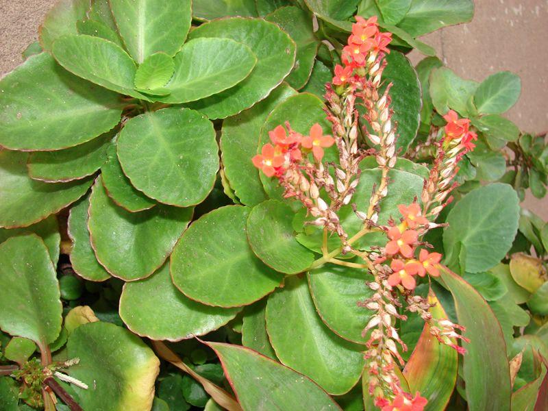 Преимущества растения в его компактном размере