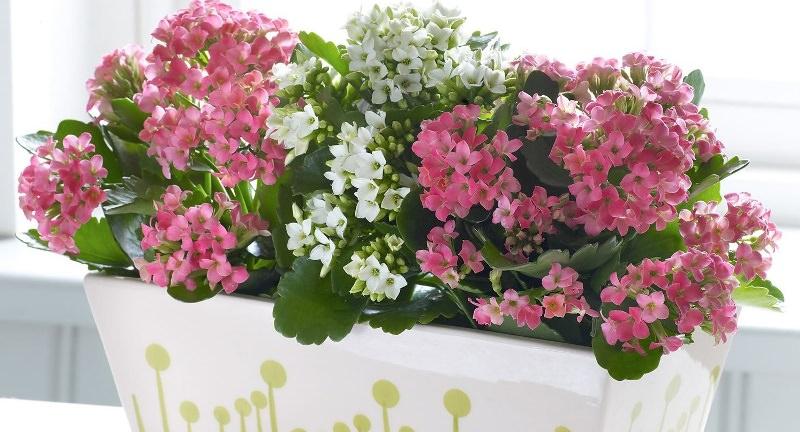 Для того чтобы размножить какой-либо из сортов этого цветка, можно воспользоваться несколькими методами