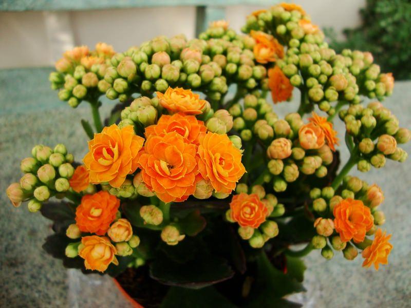 Полив каланхоэ цветущий любит регулярный