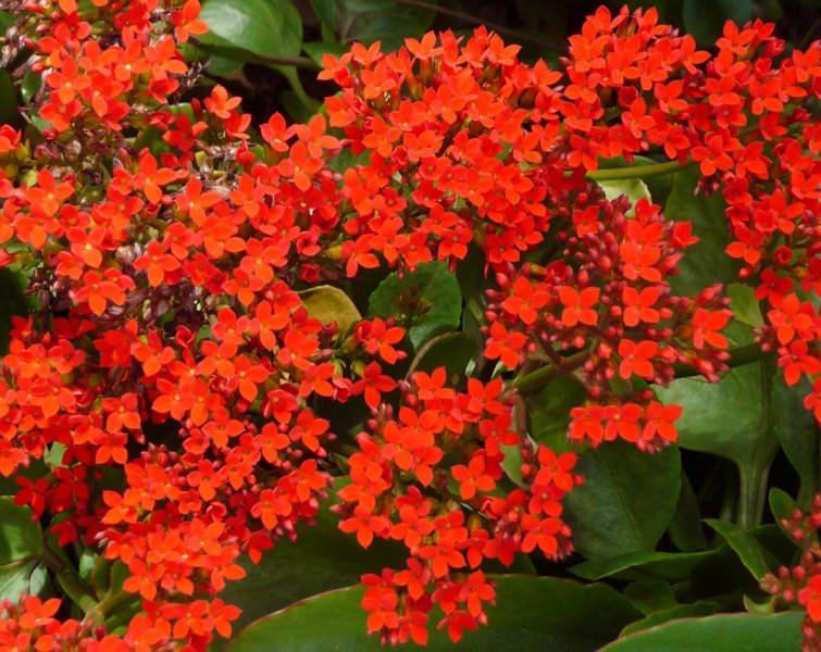 Растет цветок очень быстро, так же быстро разрастается и корневище, поэтому требует ежегодной пересадки