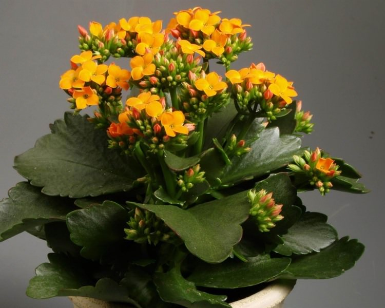 В дополнительном увлажнении воздуха травянистый или цветущий каланхоэ не нуждается