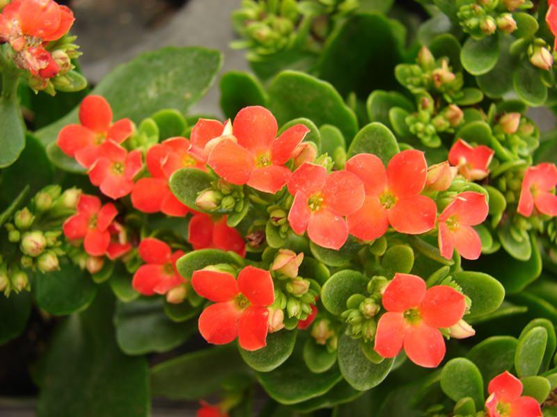 Почву для размещения приобретают специально для кактусов, приобрести ее можно в цветочном салоне или создать самостоятельно
