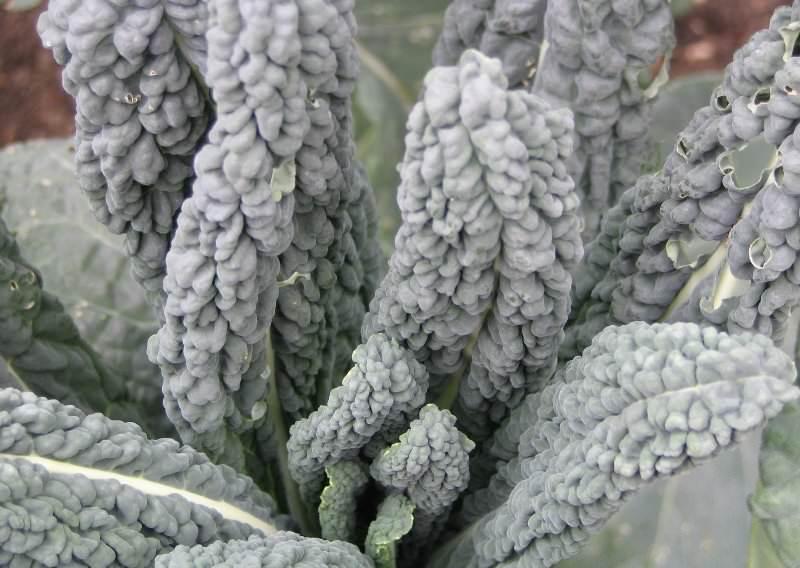 Листовая капуста - неприхотливое растение, которое обладает высокой морозоустойчивостью