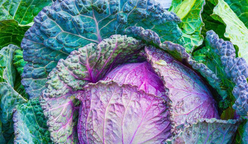 Обязательно тщательно поливается листовая капуста, выращивание растения проходит с пересадкой