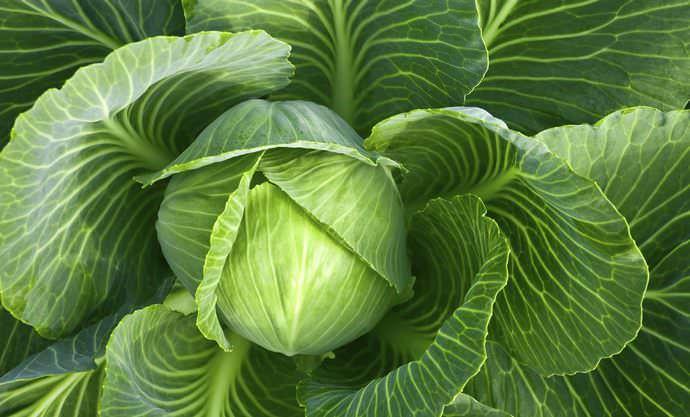 Чтобы капуста в теплице дала максимальные всходы, необходимо создать для ее успешного роста все условия