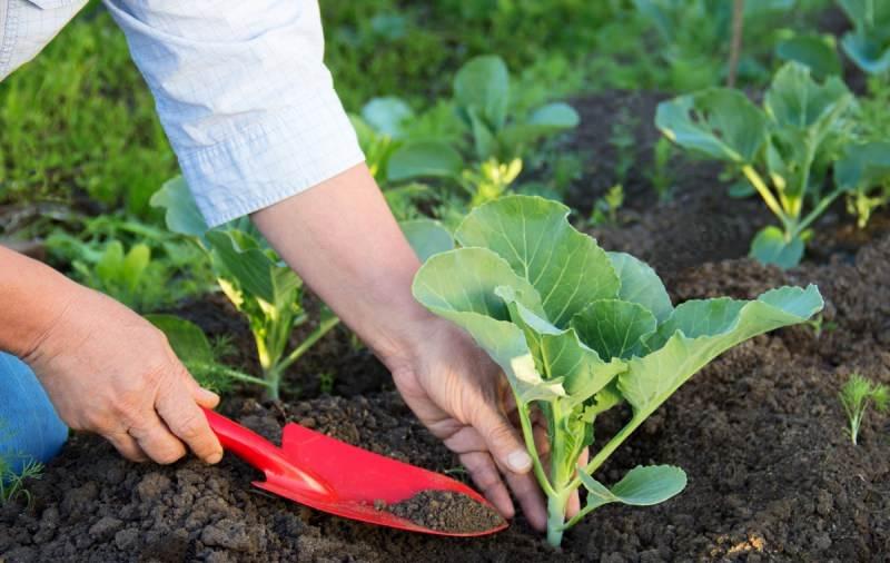 Выращивание капусты белокочанной не будет правильным, если не проводить систематическое взрыхление земли и окучивание рассады