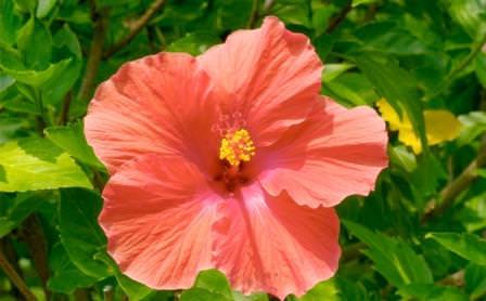 Китайская роза - одна из многочисленных разновидностей гибискуса