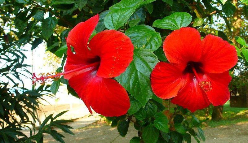 Прекрасное растение пользуется огромной популярностью у опытных и начинающих цветоводов