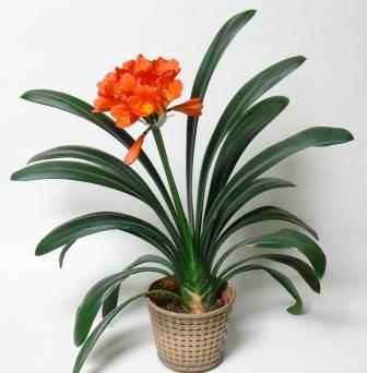 Кливия относится к травянистым бесстебельным многолетним растениям семейства амариллисовых
