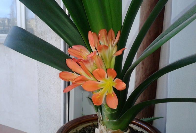 В весенние и летние месяцы растение следует поливать умеренно, только тогда, когда подсохнет верхний слой субстрата