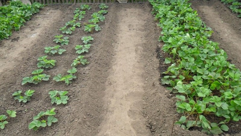Чтобы получить хороший урожай клубники, или виктории, нужно будет потрудиться