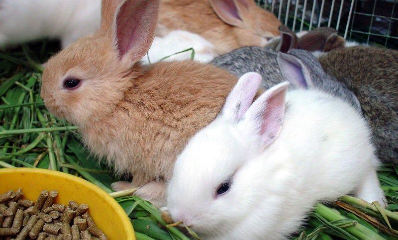 Чтобы животные набирали быстро вес, рекомендуется задавать корм с большим процентным содержанием мясокостной муки, жмыха, травяной муки, отрубей, шрота