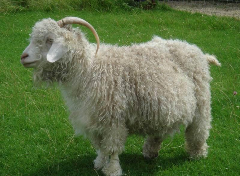 Лучшая представительница этой породы - ангорская коза