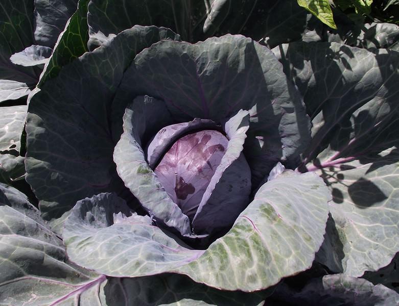 Капуста – влаголюбивое растение