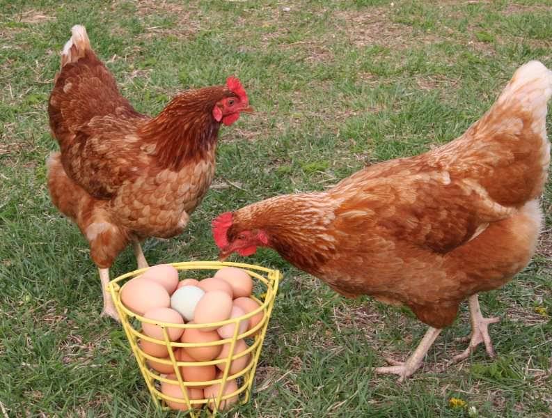 Обычно нести яйца курицы начинают примерно с полугодовалого возраста