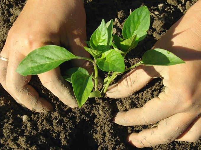 Сажать перцы на открытые грядки нужно на такую же глубину, как и в горшки, при этом нужно проследить, чтобы части корней не выглядывали из земли